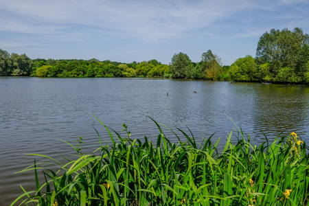 Tranquil shot of calm lake with reeds in the foreground and trees in the background.  Early summer landscape withg blue sky. Stock fotó
