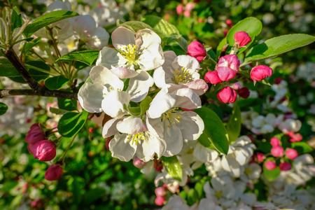 Cherry blossom in spring on a bright sunny afternoon.  Beautiful pinks and whites with green foliage. Stock fotó