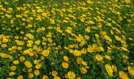 Yellow european maragrita daisies with green foliage.  Closeup and background shot. Stock fotó