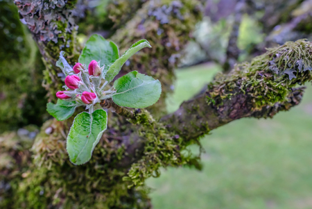 Single spray of apple blossom set agains moss covered branches. Reklamní fotografie