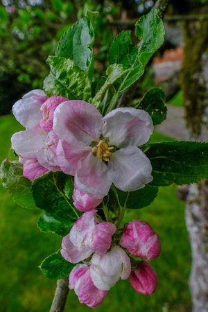 Closeup of beautiful spring apple blossom.  Open flowers with green leaves behind.