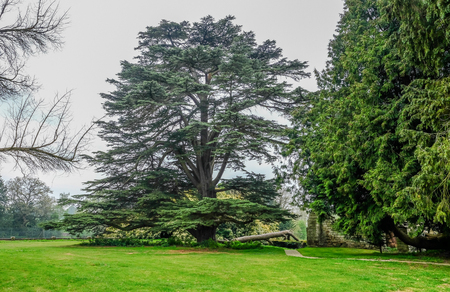 Beautiful and majestic cedar tree in a rural setting with grass in the foreground.