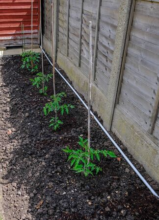 Row of four seedling tomato plants in the soil and attached to a bamboo canes.  Wooden fence in the background. Stok Fotoğraf