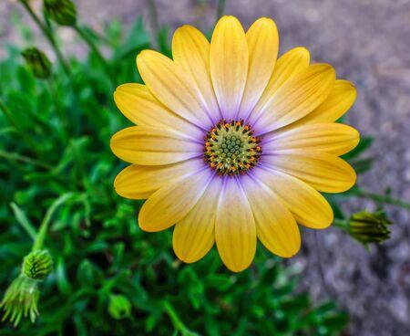 Close up shot of single yellow ornamental daisy, blue eyed beauty African daisy. Stock fotó