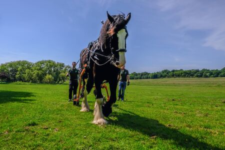 Hainault Country Park, Essex, UK -  June 6, 2018: Shire horse logging with men following  him, training exercise. 報道画像