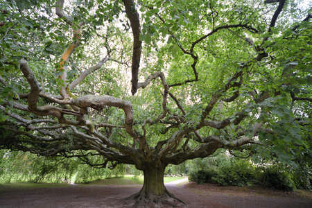 I took this photo in Summer 2017 in Bayeux botanical garden. This exceptional tree has a span of 25 meters and needs poles with steel cables on the sides to prevent the crash of its branches.