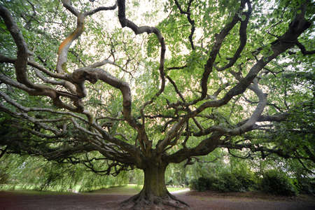 I took this photo in Summer 2017 in Bayeux botanical garden. This exceptional tree has a span of 25 meters and needs poles with steel cables on the sides to prevent the crash of its long branches.