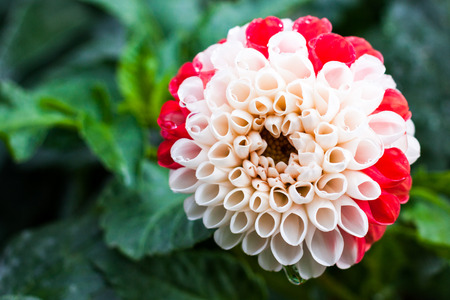 Close-up of bicolor white and red dahlia flower after the rain
