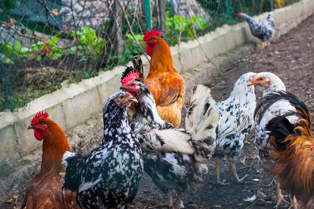 Different types of chicken breeds on the farm Stock Photo