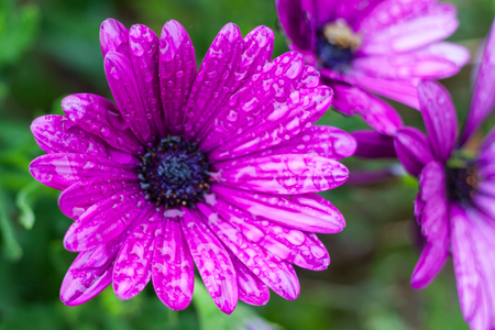 Close-up of purple Osteospermum, or African daisy, flowers after the rain