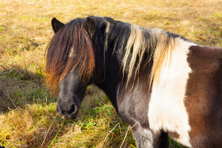 Colorful brown and white horse with a long forelock