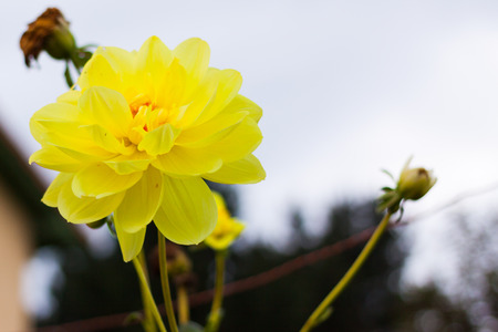 Bright yellow dahlia in bloom against the sky Stock Photo