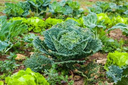 Close-up of fresh green cabbage before harvesting in the garden