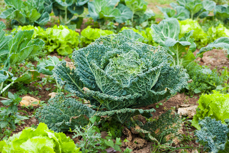 Fresh green cabbage before harvesting in the garden