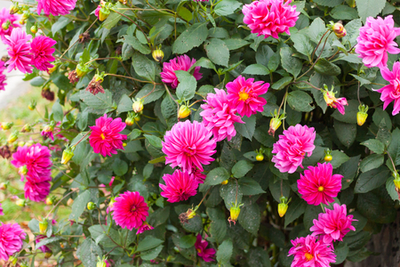 Pink dahlia flowers in the garden Stock Photo