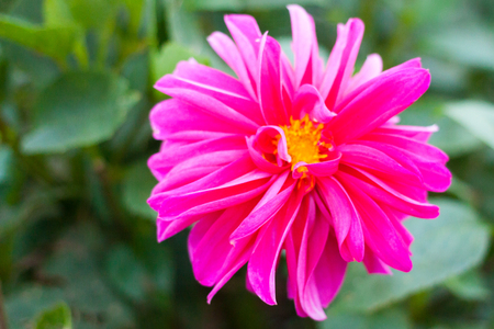 Close-up of a pink dahlia flower in the garden Stock Photo