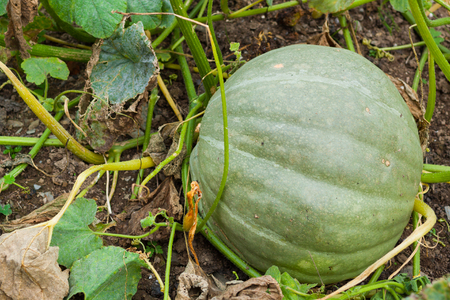 Big green pumpkin growing in a field in autumn. Asturias, Spain