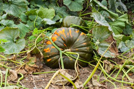 Pumpkin growing in a field in autumn. Asturias, Spain
