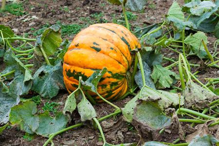 Pumpkin growing in a field in autumn. Asturias, Spain Stock Photo - 105692288