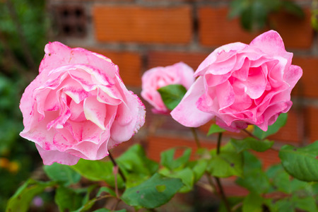 Close-up of three pink roses growing in a garden