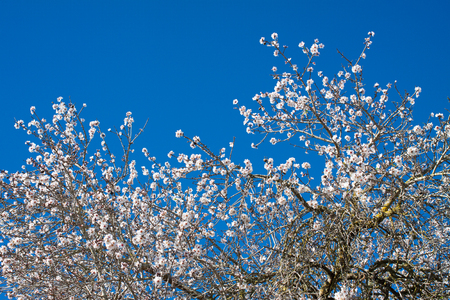 Almond tree flowers against the blue sky in Costitx, Mallorca, Spain Stock Photo - 107711671