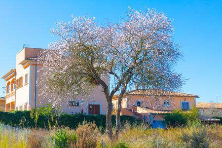 Almond tree in bloom in Costitx, Mallorca, Spain Stock Photo
