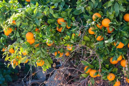 Orange tree with ripe oranges in Costitx, Mallorca, Spain Stock Photo - 107711674