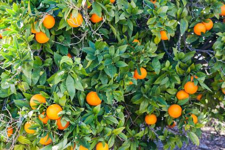 Orange tree with ripe oranges in Costitx, Mallorca, Spain Stock Photo - 107711736