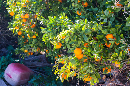 Orange tree with ripe oranges in Costitx, Mallorca, Spain