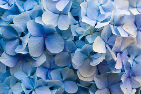Close-up of blue hydrangea in bloom Stock Photo