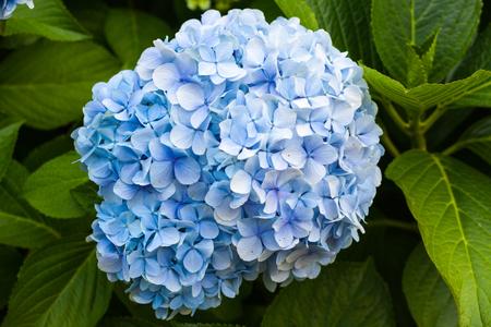 Blue hydrangea flower blossoming Stock Photo