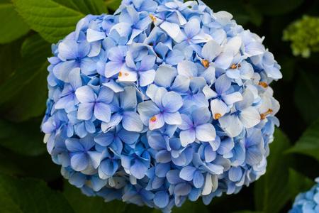 Blue hydrangea in bloom in a garden