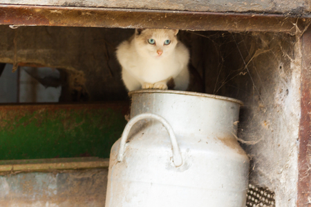 White cat with blue eyes sitting on a milk can under the roof. Astturias, Spain Stock Photo