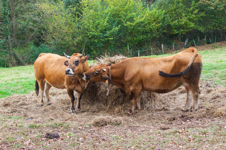 Two brown cows near the haystack on the farm Stock Photo