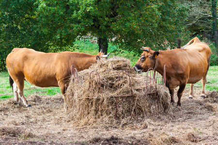 Two brown cows eating hay on the farm