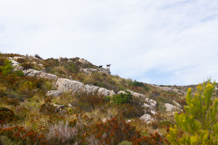 Goats climbing the mountains near Arta, Mallorca, Spain