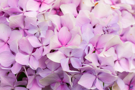 Close-up pink hortensia in bloom Stock Photo - 107711268