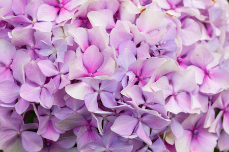 Close-up pink hortensia, also known as hydrangea, in bloom