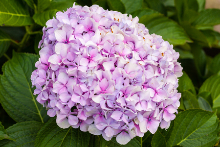Bright pink hortensia, also known as hydrangea, blossoming
