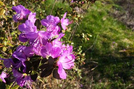 Rhododendron ledebourii in bloom. Altai mountains, Altai Republic, Russia Stock Photo