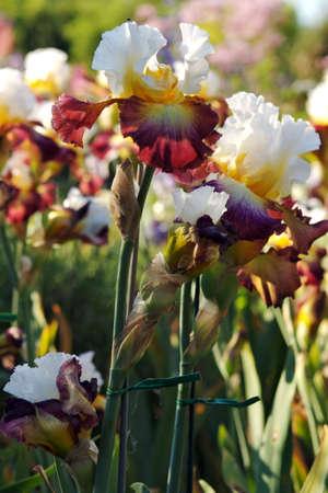 Beautiful Red and Yellow Irises Stock Photo - 815593
