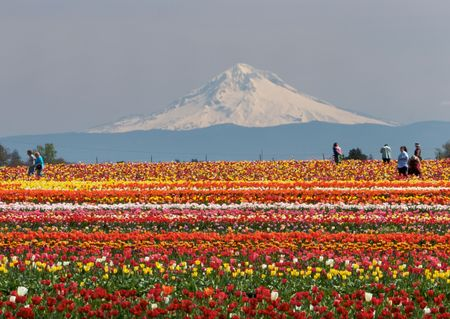 Colorful tulip fields with Mt. Hood in the background