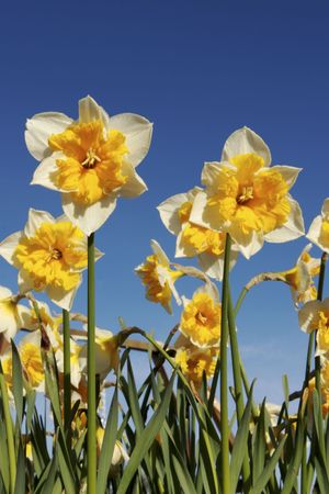 Shining daffodils in spring Stock Photo