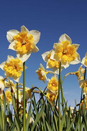 Shining daffodils in spring Stock Photo