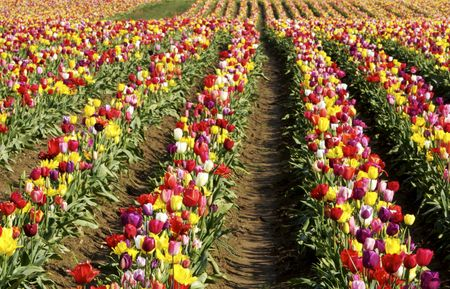 colorful lines of tulips in the field
