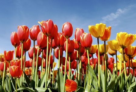 red and yellow tulips in the sunshine against blue skies Banque d'images