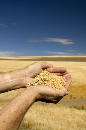 Close up of hands holding wheat with sky and field in background photo