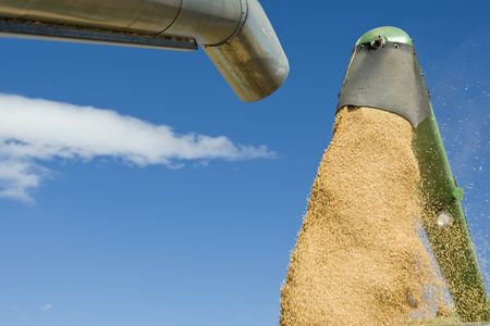 Close up of wheat falling from the flue of a combine against blue sky Stock Photo