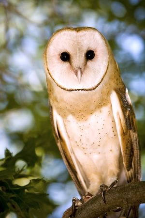 Portrait of a Barn Owl Sitting in a Tree Stock Photo