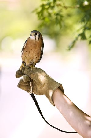 rehabilitated: Kestrel Falcon that is injured and being rehabilitated